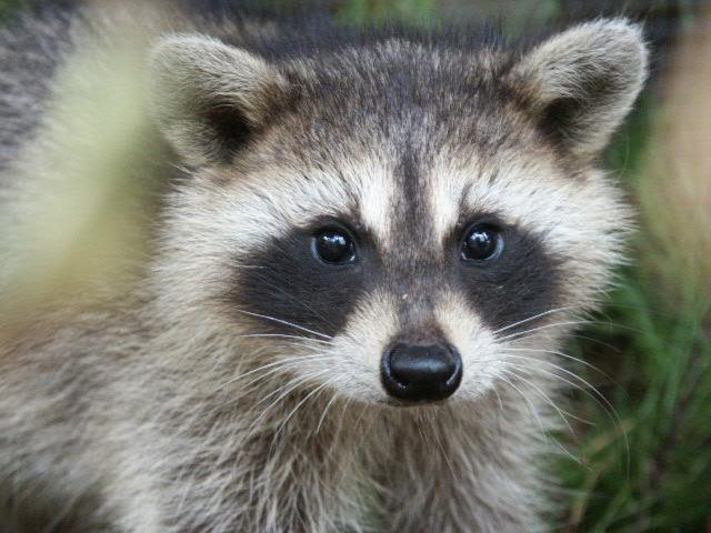 Ojos de mapache