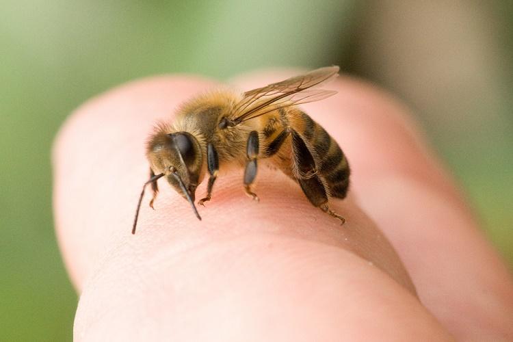 Remedios caseros para la picadura de abeja