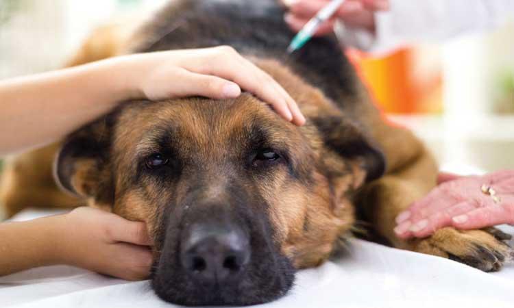 Remedios caseros para tratar la tos de la perrera en perros