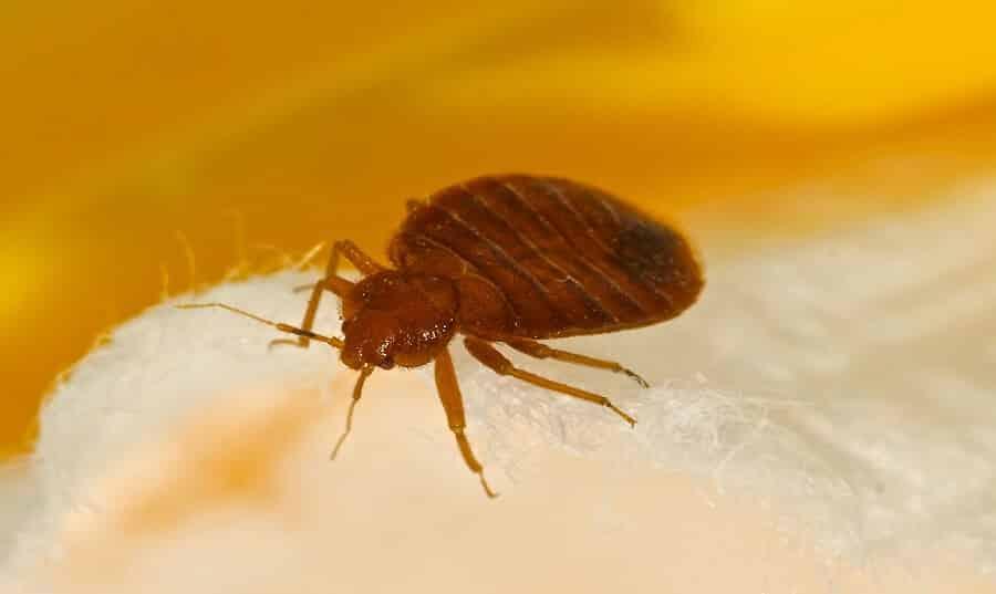¿Qué insectos de cama parece?