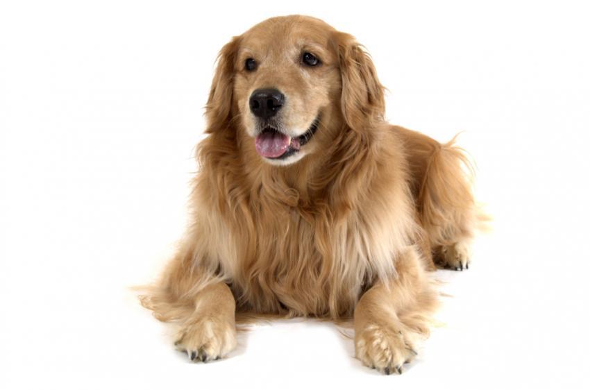 Remedios caseros para los perros del gusano del corazón