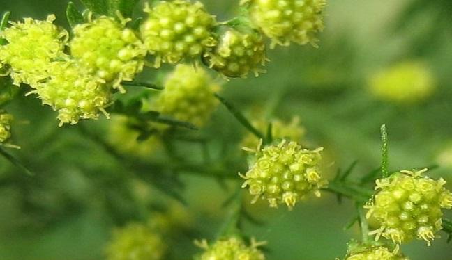 uso de la Artemisia annua