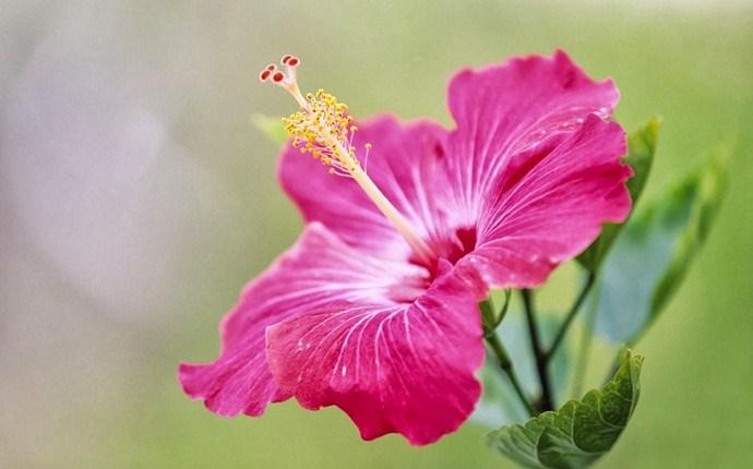 Flor Hibiscus