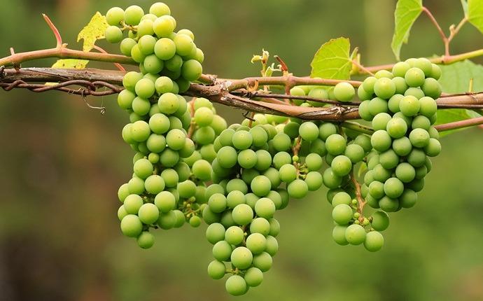Pack de cara de uvas